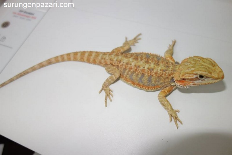 Bearded Dragon (Sakallı ejder )