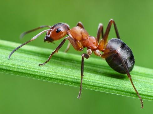 Kelebek Karınca