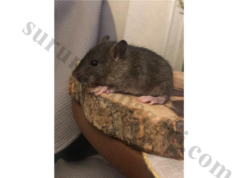 AGOUTİ FANCY RAT YAVRUSU